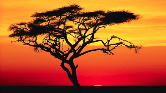 Acacia Tree at Sunset